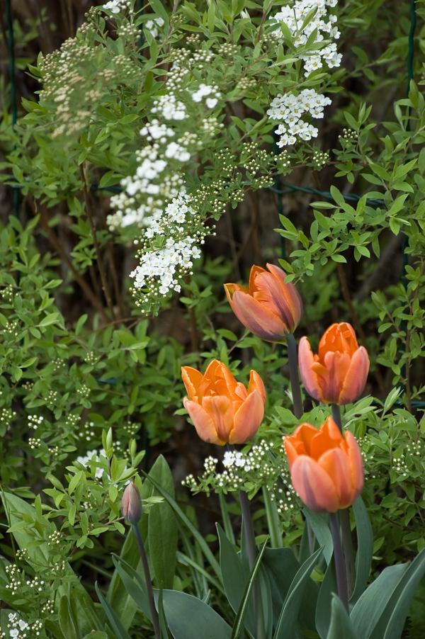 tulppaanit ja norjanangervo