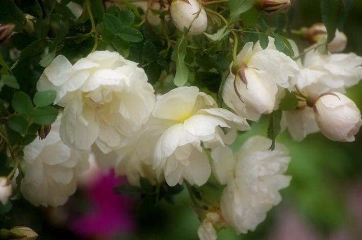 juhannusruusu-garden