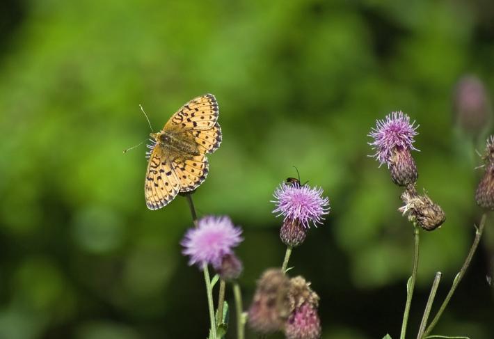 ohdakkeet ja perhonen
